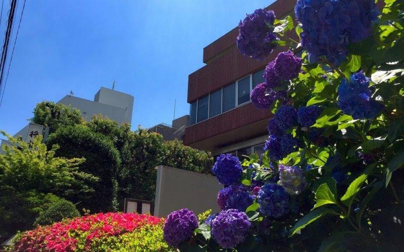 将棋会館の紫陽花